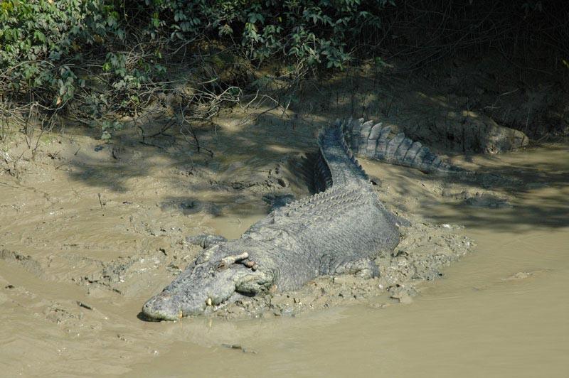 Crocodile Jumping01