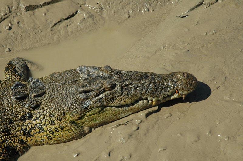 Crocodile Jumping02