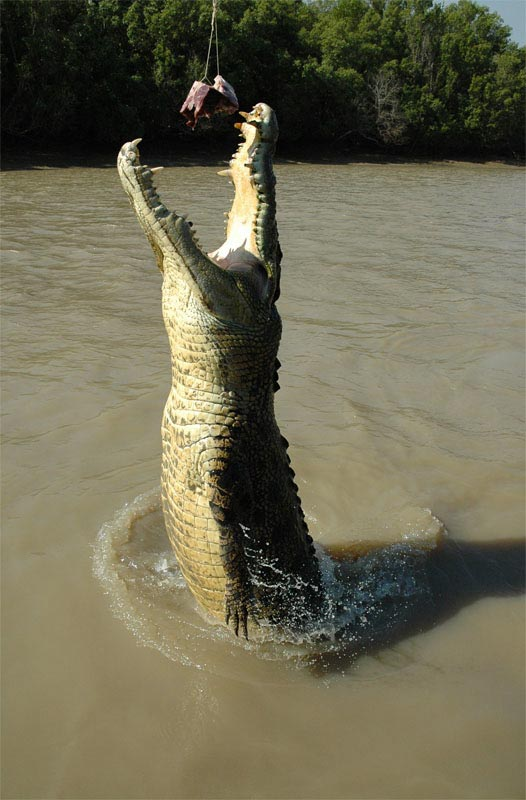 Crocodile Jumping06
