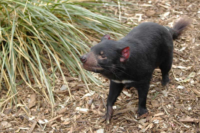 Faune de Tasmanie