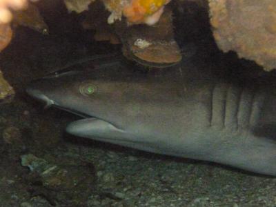 Portrait d'un requin de récif