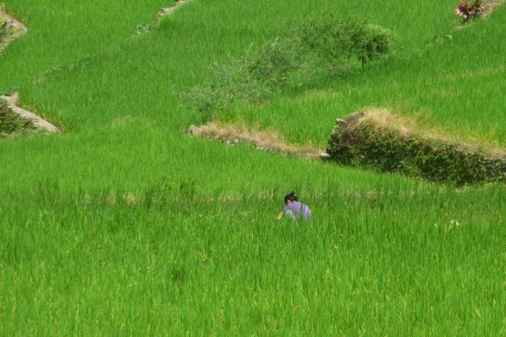Dans la région du Nord Luzon et ses rizières, Philippines.