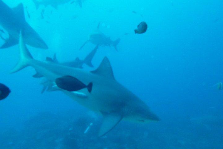 Le jour où j'ai plongé avec de gros requins, sans cage !