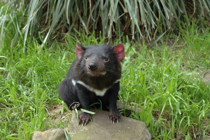 La faune de Tasmanie