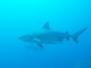 Plongées avec les requins