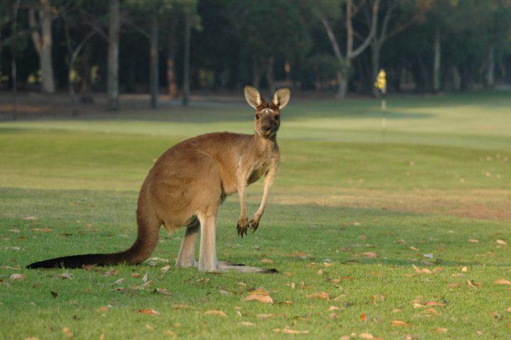Le saviez-vous : les kangourous vont au golf !